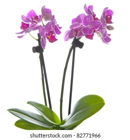 a lilac orchid, called phalaenopsis