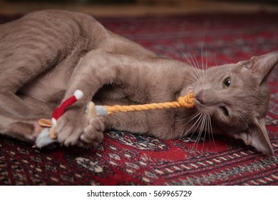Lilac Oriental Short-hair cat playing with toys on a Persian rug