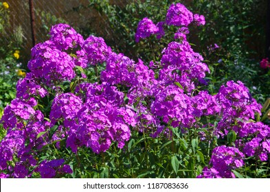 Lilac Phlox blooming in the garden