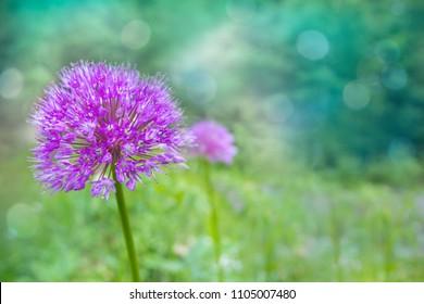 Lilac / pink Allium Onion Flower on blurred natural background in a summer garden