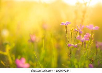 Lilac pink flowers in green grass in field in summer. Outdoor nature view