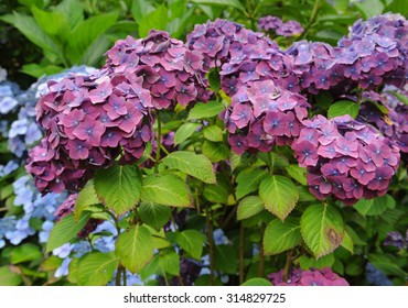 Lilac and Pink Mop Head Hydrangeas (Hydrangea macrophylla) at Killerton, Devon, England, UK