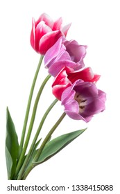 Lilac and pink tulips isolated on a white background