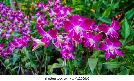 Lilac, purple and white orchid from National Orchid Garden, Singapore