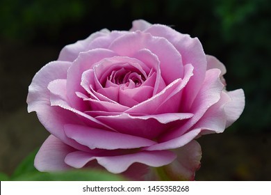 """lilac rose with drops of dew. Silver blue rose flower - grade """"Lavender Ice"""". Graceful purple rose on a green background isolated"""