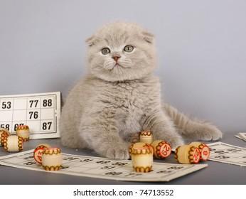 Lilac Scottish kitten playing in a bingo.