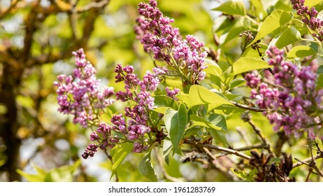 Lilac shrub in bloom. Violet, purple colored flowers among the green leaves of early spring in northern France. Light of a sunny April day. Passion for horticulture and flower gardens