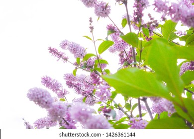 Lilac shrub flowers blooming in spring garden. Common lilac Syringa vulgaris bush branches on white background. Close-up with soft focus of a branch on a lilac tree
