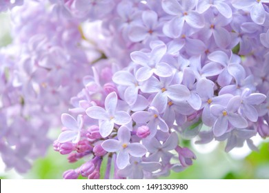 Lilac shrub flowers blooming in spring garden. Common lilac Syringa vulgaris bush. Close-up with soft focus of a branch on a lilac tree