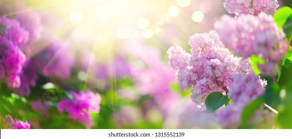 Lilac spring flowers bunch violet art design background. Beautiful blooming violet Lilac flower in a garden, closeup. Watercolor nature floral backdrop. Fragrant Spring Blossom. Easter. Widescreen
