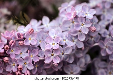 Lilac in St Petersburg