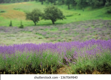 Lilac summer lavenders in the green valley