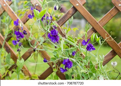 Lilac sweet peas on a wooden trellis