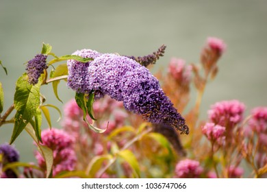 A Lilac (Syringa) flowerhead with other out of focus flowers in the background