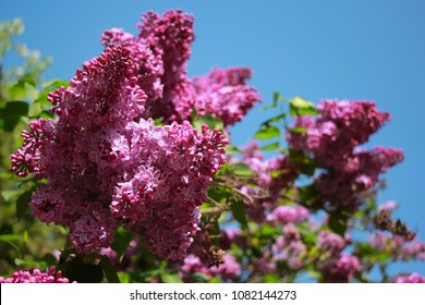 Lilac tree blooming in the spring