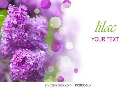 lilac tree branch with beautiful purple flowers