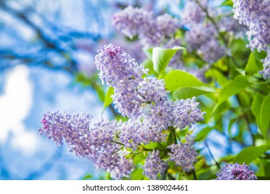 Lilac tree flowers in early stage of blooming