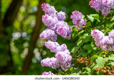 Lilac tree flowers spring scene. Spring blooming lilac tree blossoms. Lilac flowers in spring. Spring lilac blossom bloom