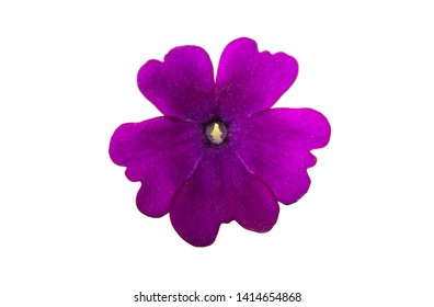 lilac verbena isolated on white background
