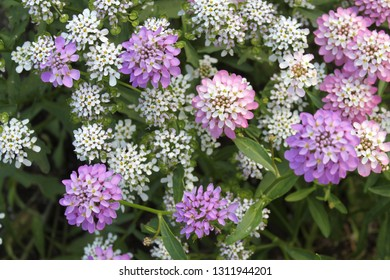 lilac and white Verbena flowers on green foliage background. Flowerbed, Park, garden