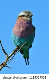 Lilac-breasted roller bird in Kruger National park district Lower Sabie