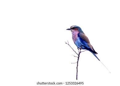 Lilacbreasted Roller, (Coracias caudata), Kruger National Park, Mpumalanga, South Africa, Africa