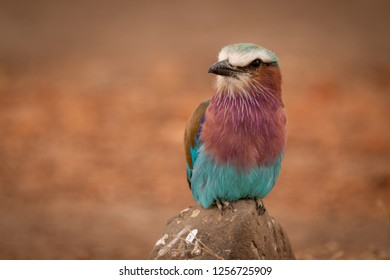 Lilac-breasted roller on rock looks towards camera