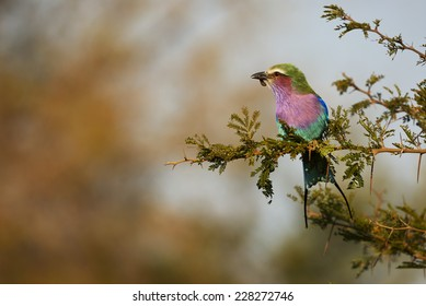 Lilac-breasted roller perched on a branch with prey in the Kruger National Park