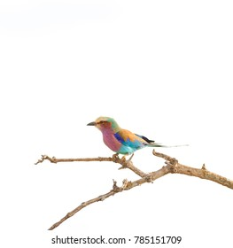 Lilac-breasted roller perched on a branch with a white background