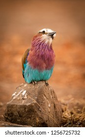 Lilac-breasted roller perched on rock cocking head