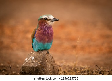 Lilac-breasted roller perched on rock eyeing camera