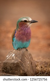 Lilac-breasted roller perches on rock eyeing camera