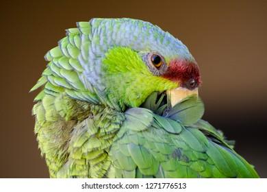 Parrot Grooming Images Stock Photos Vectors Shutterstock