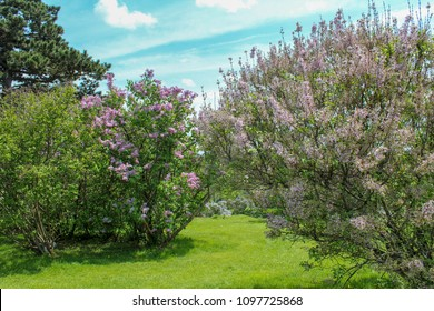 Lilacs blooming in the park. Rochester, New York. Bright spring day