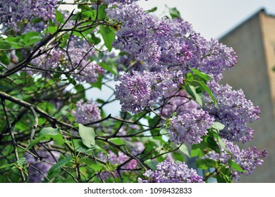 Lilacs garden in Moscow. Blooming lilac trees.