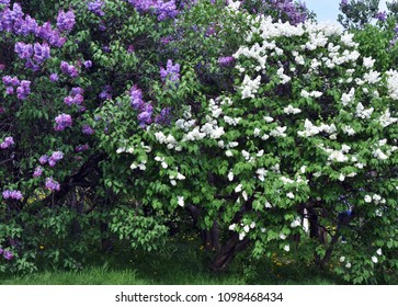 Lilacs garden in Moscow. Blooming lilac trees. Color photo.