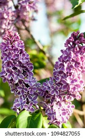Lilacs of unusual color. Bright lilac with blurred background. Two-colored lilac lilac