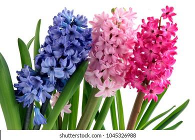 lila,pink and purple flowers of hyacinth