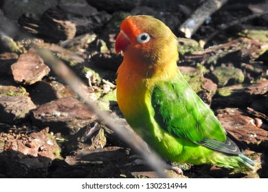 Lilian's lovebird (Agapornis lilianae), also known as Nyasa lovebird is sitting on the ground