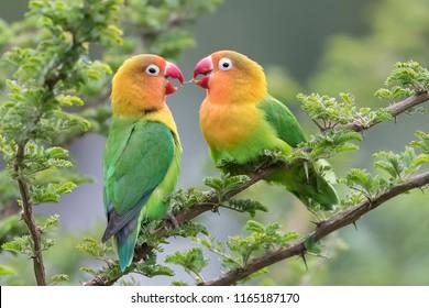 Lilian's lovebird - Nyasa-agapornis