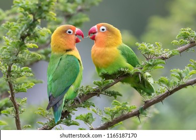 Lilian's lovebird - Nyasa-agapornis love is in the air