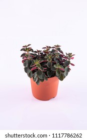 Lilian's peperomia in a pot