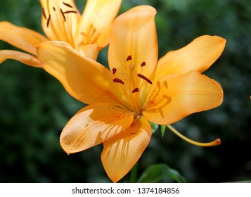Lilies – fine creation of the nature!