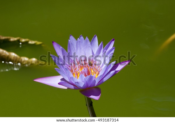 Lilies Floating on a Lake. Purple Water Lily flowers in full bloom