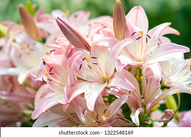 Lilies Lilium Lily - Flowers are large, often fragrant, and are presented in a wide range of colors, including white, yellow, oranges, pink, red and purple. Marking includes spots and brush strokes.