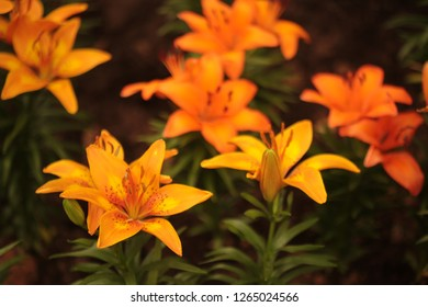 Lilies. Lilium stargazer is a hybrid lily of the Oriental group.