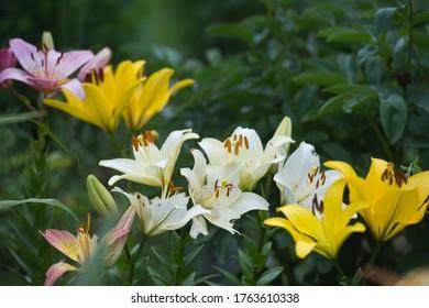 Lilien in Mixed Ränder auf dem blühenden Bett im Garten. Gartenarbeit.