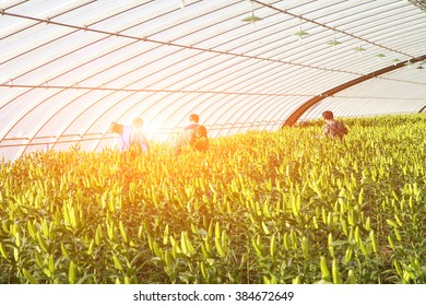 Lilies are planted in greenhouses