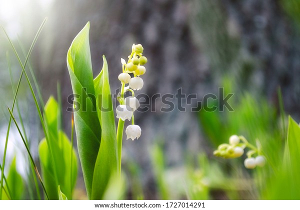 Lilies of the valley (Convallaria majalis) - herbaceous plant with fragrant white bells. Lily of the valley blooms in spring in the forest, garden. White flowers of a lily of the valley close up.