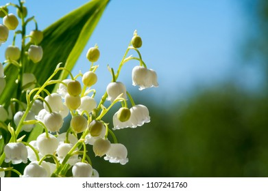White bell shaped flowers images stock photos vectors shutterstock white dropping bell shaped flowers lilies of the valley a cultural european plant family of lilies with wide leaves mightylinksfo